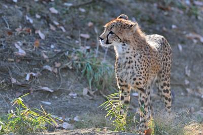 Cheetah53001