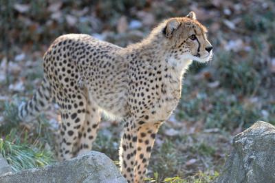 Cheetah53002