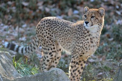 Cheetah53003