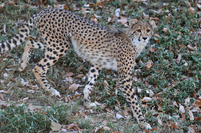 Cheetah53004