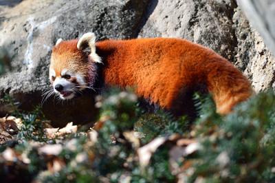 Lesser_panda32001