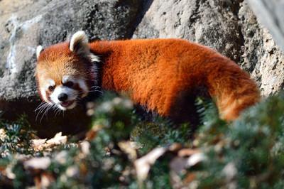 Lesser_panda32002