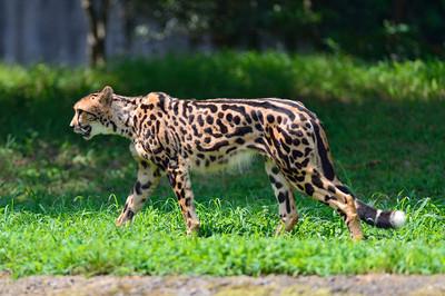 Cheetah58001