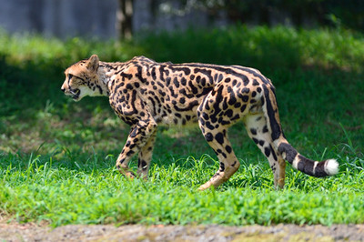 Cheetah58002