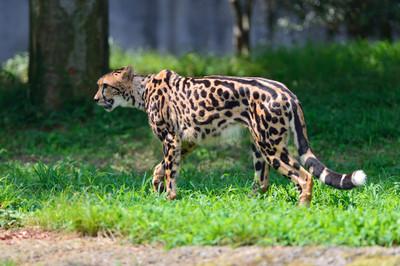 Cheetah58003