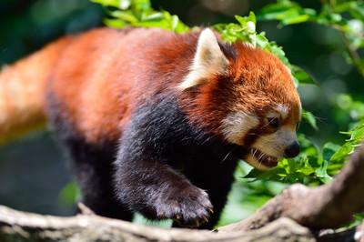 Lesser_panda35001