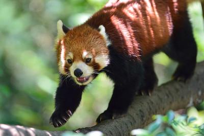 Lesser_panda35002