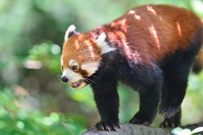 Lesser_panda35003