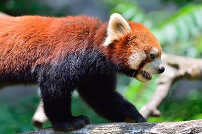Lesser_panda35004