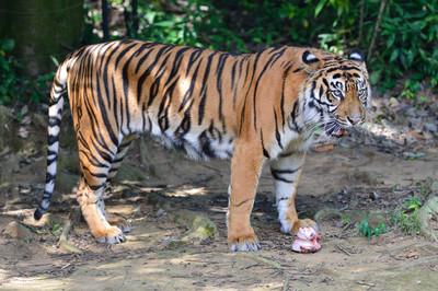 Sumatran_tiger23001