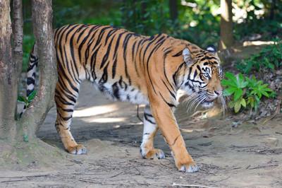 Sumatran_tiger23002