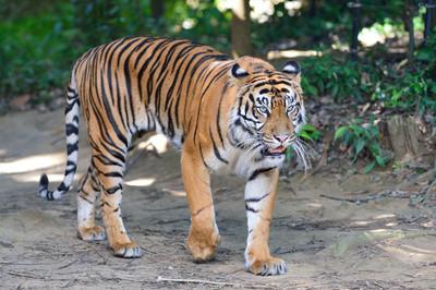 Sumatran_tiger23003