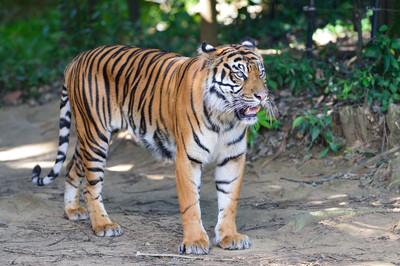 Sumatran_tiger23004