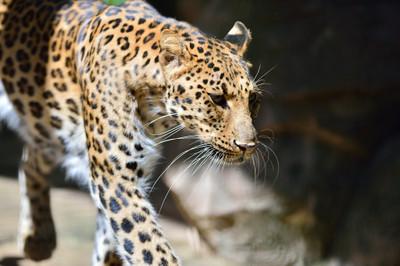 Amur_leopard10001