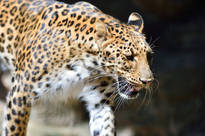 Amur_leopard10002