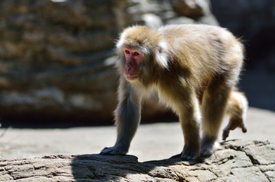 Japanese_macaque35002