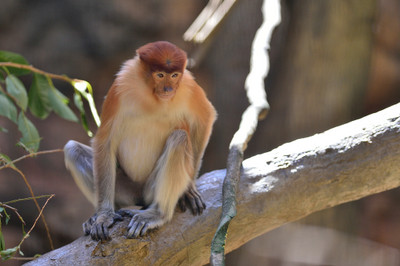 Proboscis_monkey14001