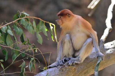 Proboscis_monkey14002