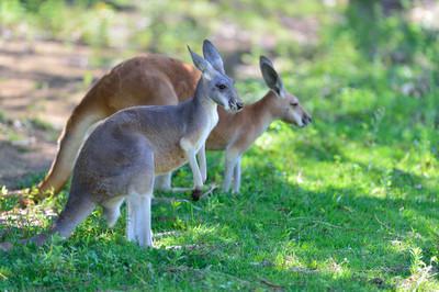 Red_kangaroo18001