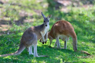 Red_kangaroo18002