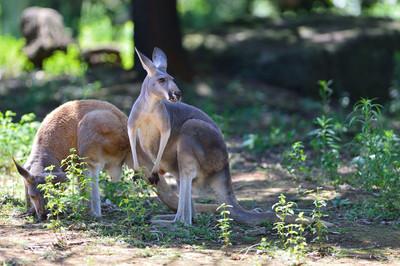 Red_kangaroo18003