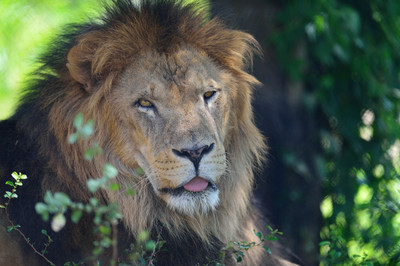 African_lion13001
