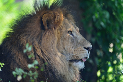 African_lion13002
