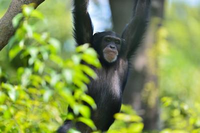 Chimpanzee26001