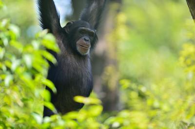 Chimpanzee26002