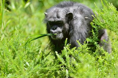 Chimpanzee26003