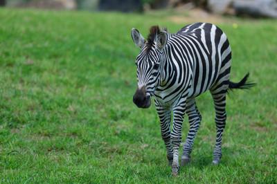 Grants_zebra13001