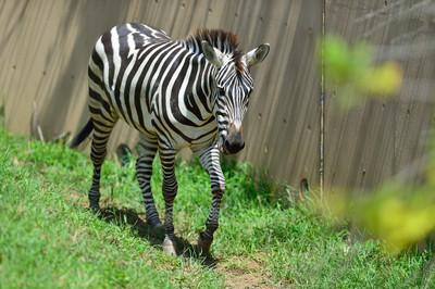 Grants_zebra13002