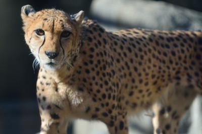 Cheetah59001