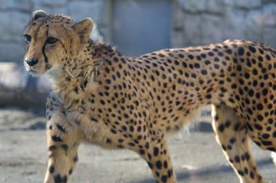 Cheetah59002