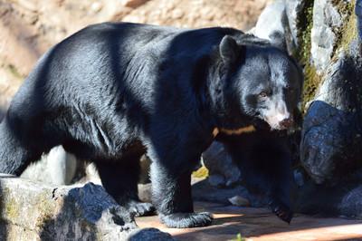 Asiatic_black_bear22001