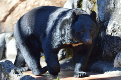 Asiatic_black_bear22002