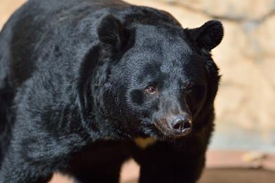 Asiatic_black_bear22003