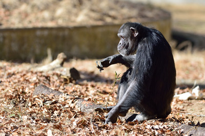 Chimpanzee27001