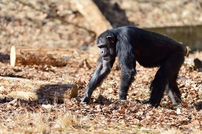 Chimpanzee27002
