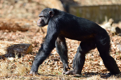 Chimpanzee27003