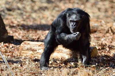 Chimpanzee27004