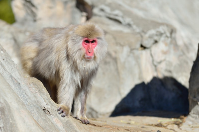 Japanese_macaque36001