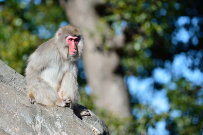 Japanese_macaque36003