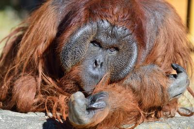 Orangutan22001
