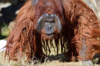 Orangutan22002