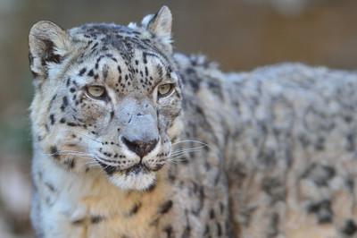 Snow_leopard34001