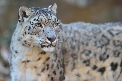 Snow_leopard34002