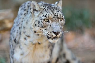 Snow_leopard34003