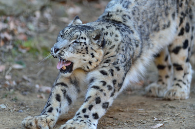 Snow_leopard36002