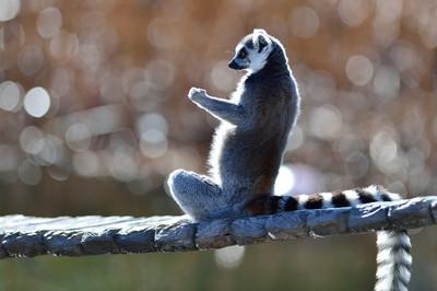 Ringtailed_lemur19001_3